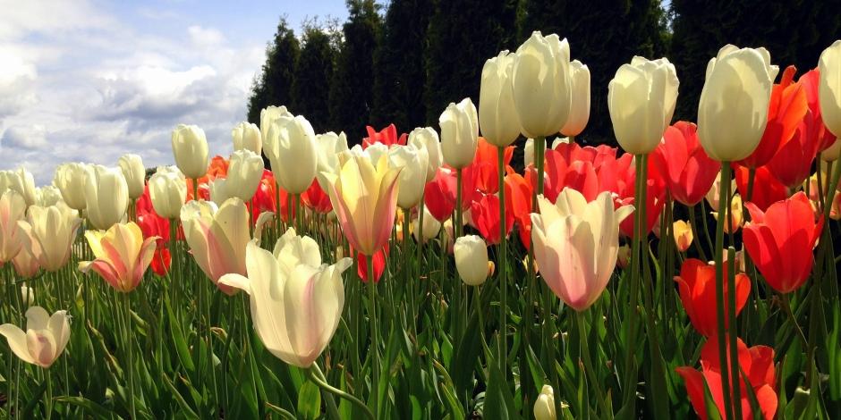 Skagit Valley Tulip Festival 2015