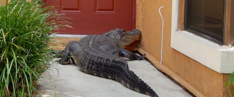 HT_alligator_front_lawn_02_jef_150605_12x5_1600