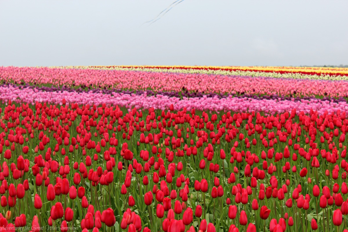 Wizard of Oz fields of red and pink blooms