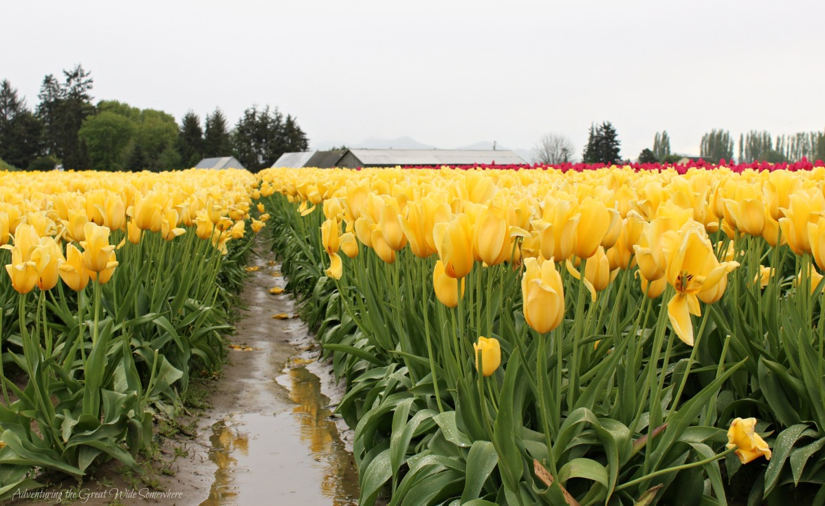 Yellow Tulips On a Muddy Spring Day in Washington