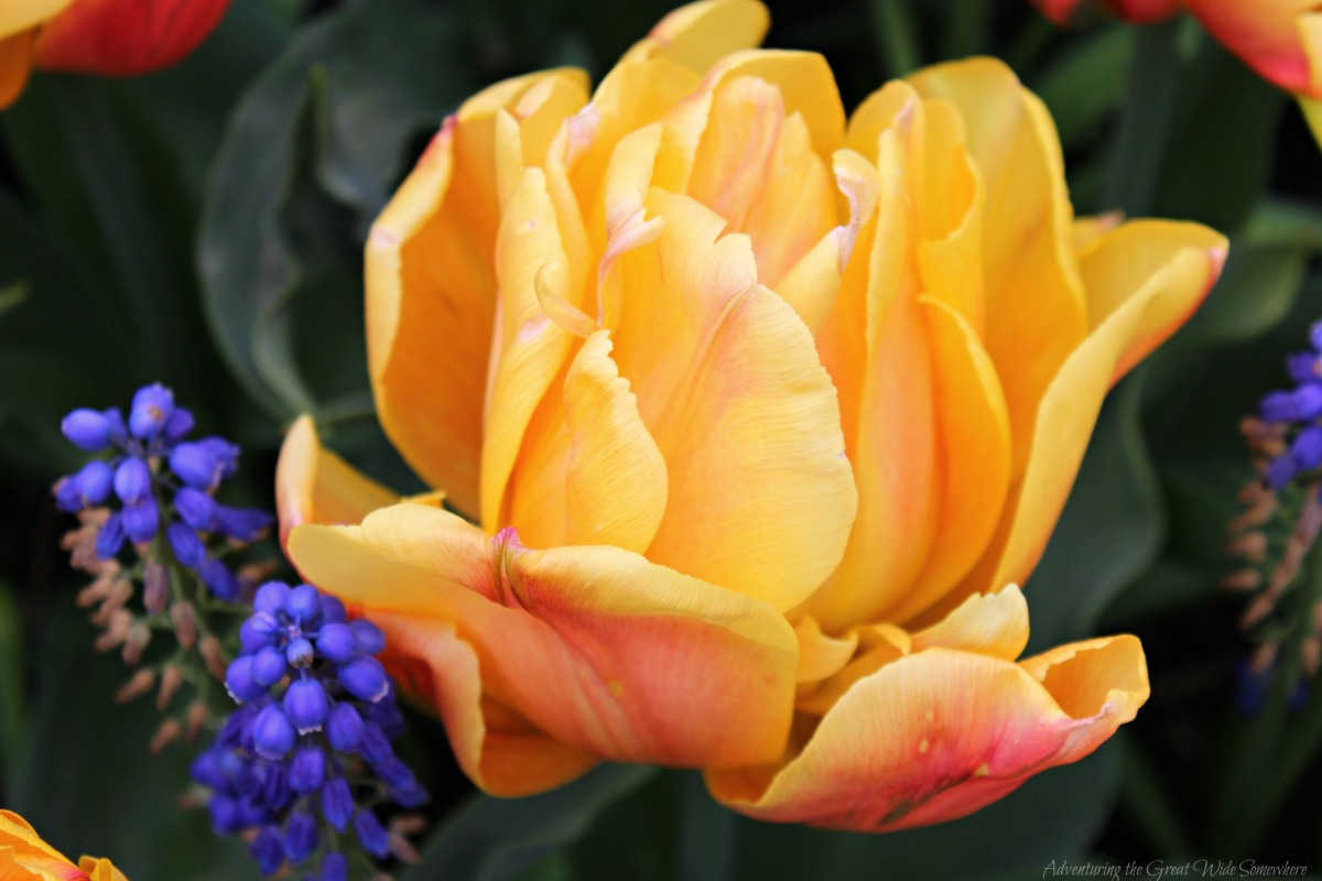 A gorgeous yellow Freeman Tulip at Roozengaarde