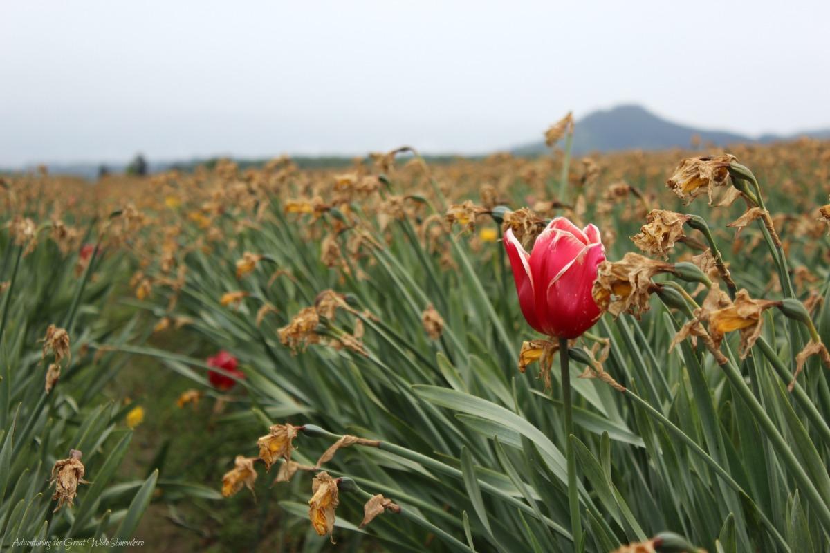 A Single Red Bloom in a Field of Dead Tulips