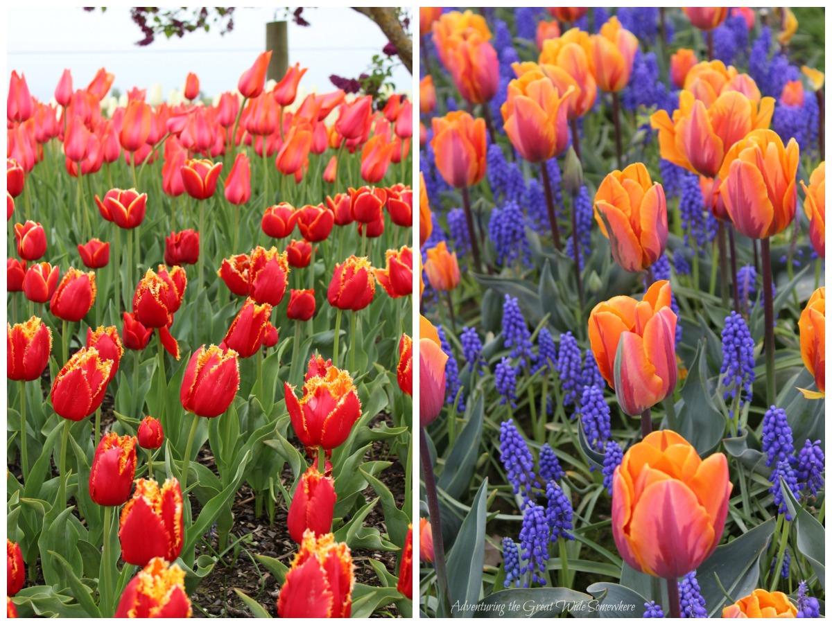 A Variety of Pretty Blooms Decorate the Skagit Valley Tulip Festival