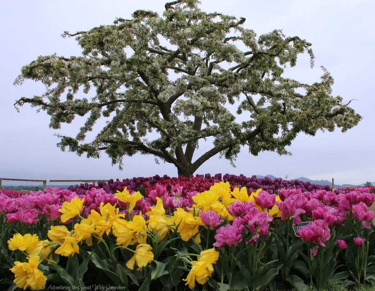 A White Tree Stands Out Above a Sea of Pink and Yellow Tulips