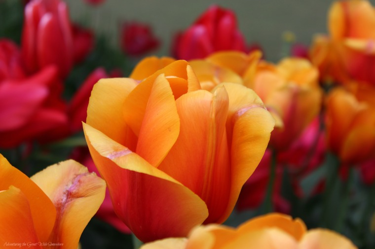 An Orange Tulip Stands Out Against a Sea of Fire Bright Flowers