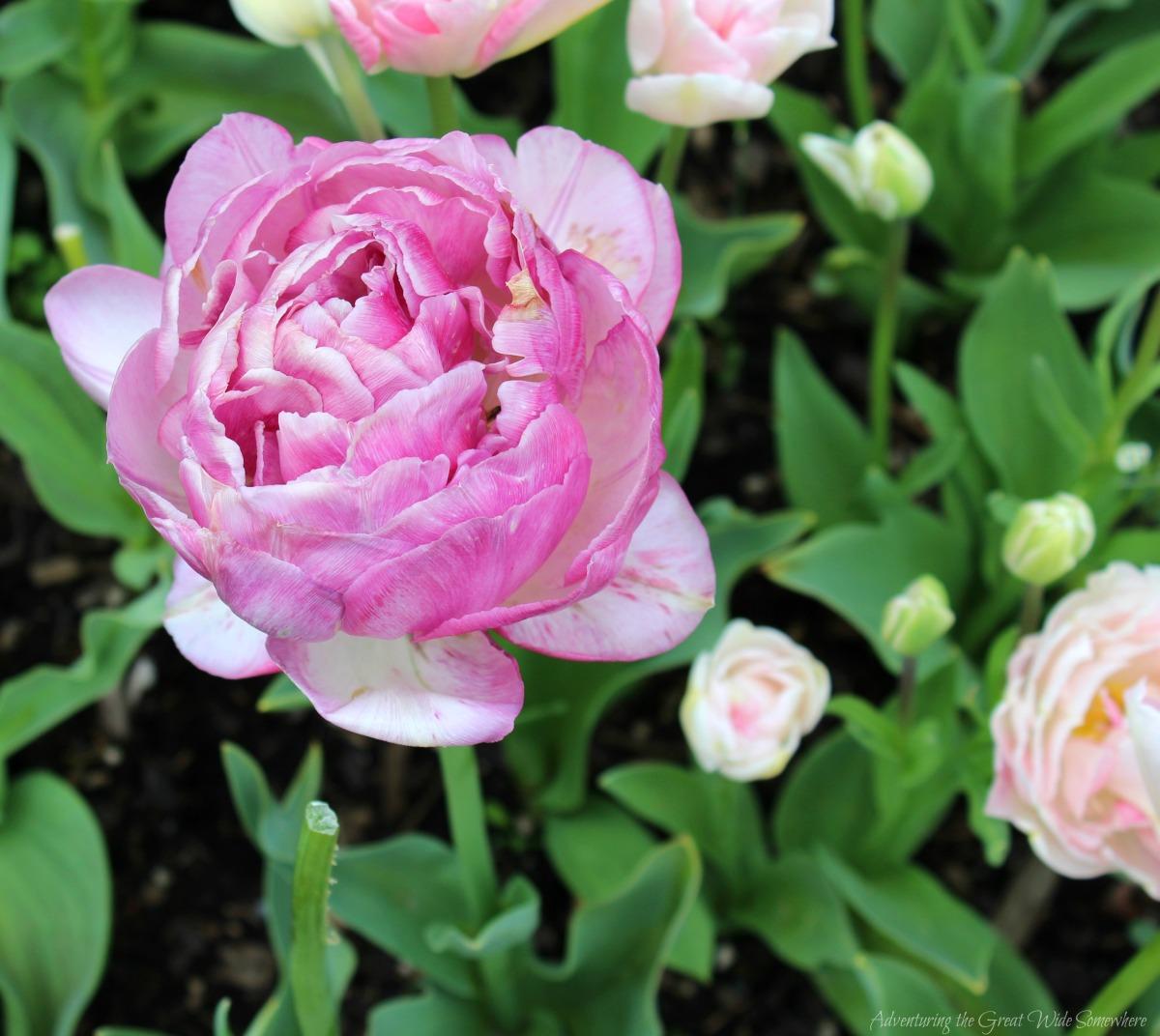 Beautiful Pink Tulip at Skagit Valley's Roozengaarde