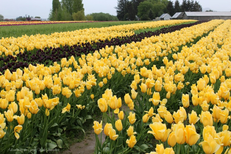 Bold Yellow and Purple Tulips at the 2016 Skagit Valley Tulip Festival