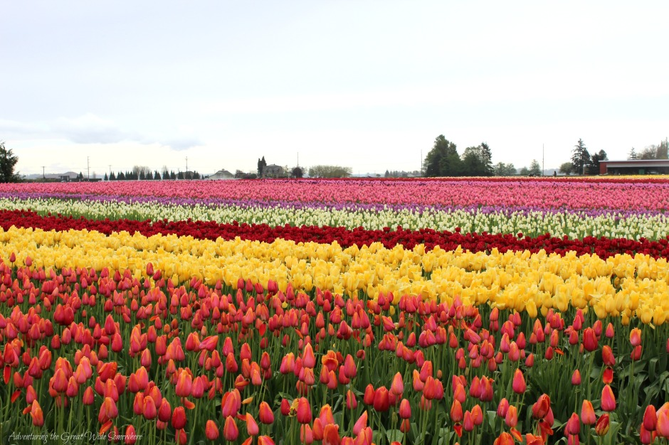 End of Season Tulip Fields at Skagit Valley's Tulip Town
