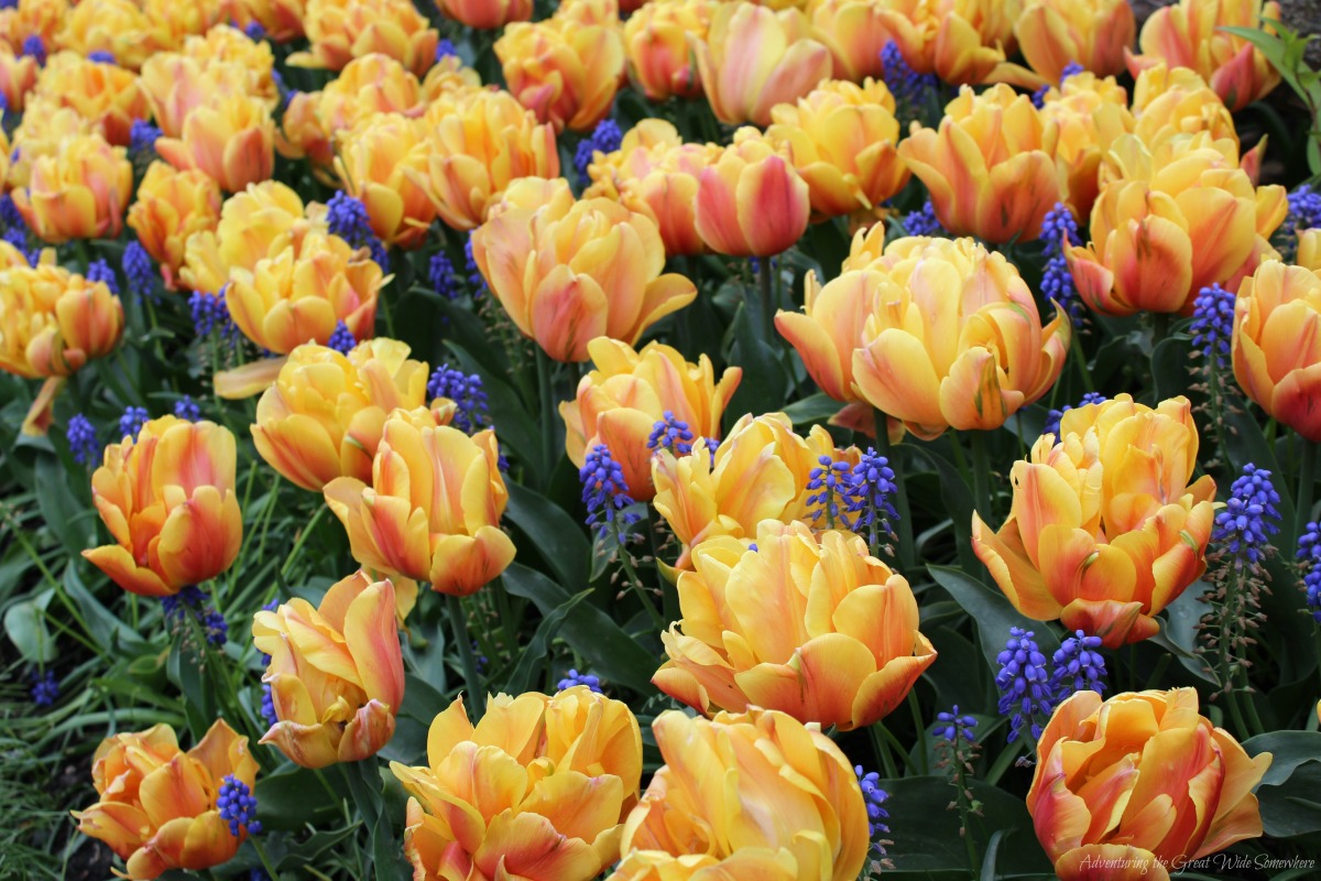 Freeman Tulips in Bloom at Washington's 2016 Skagit Valley Tulip Festival