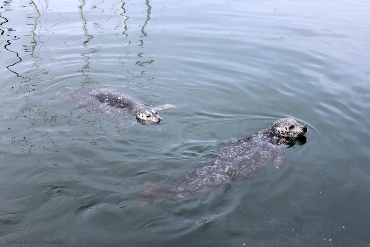 Harbor Seals Wait to be Fed at Victoria's Fisherman's Wharf