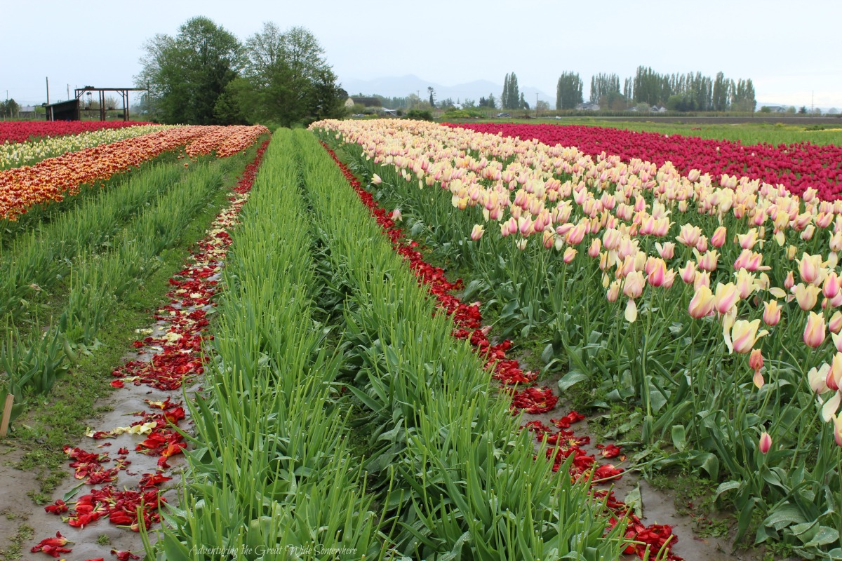 Headless Tulips at the End of the 2016 Skagit Valley Tulip Festival Season