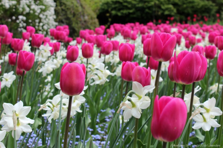Hot Pink Tulips in Spring Bloom at the Butchart Gardens