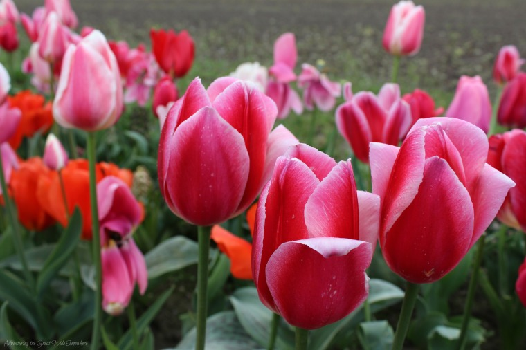 Pink and White Tinged Tulips at Washington's Tulip Festival