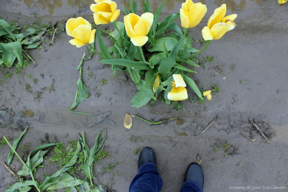 Rain Boots are a Must for the 2016 Skagit Valley Tulip Festival