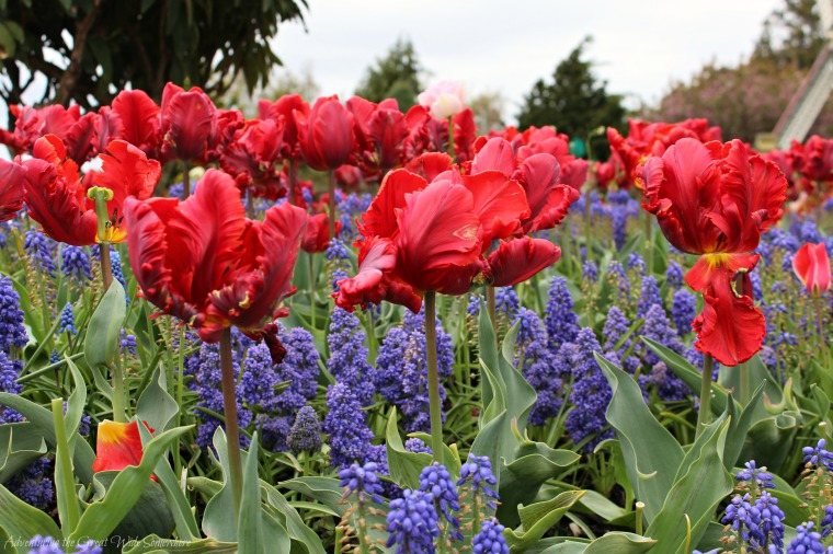 Red Rococo Parrot Tulips and Purple Grape Hyacinth at the Skagit Valley Tulip Festival