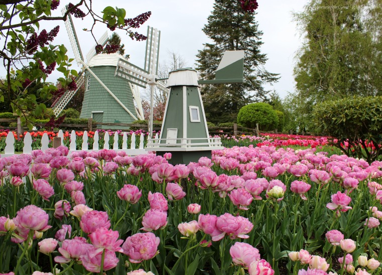 Roozengarde Windmills and Pink Flowers at the Skagit Valley Tulip Festival