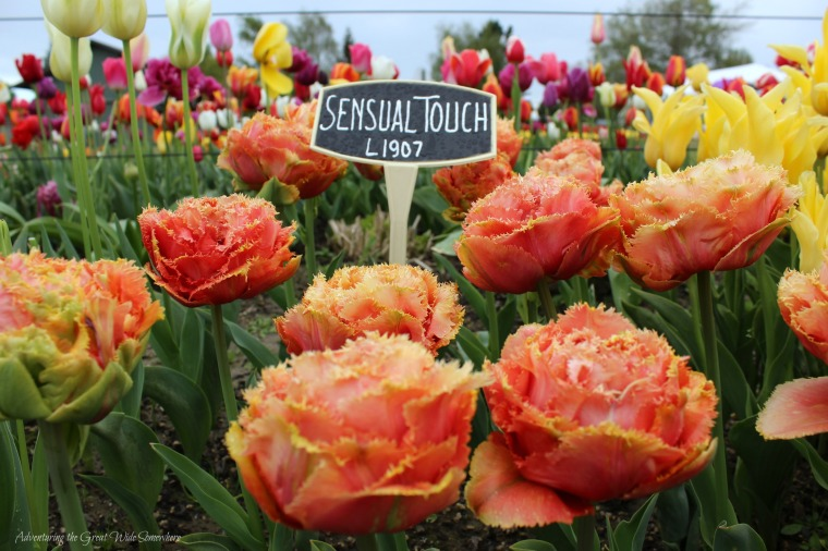 Sensual Touch, One of Many Varieties Found at the Skagit Valley Tulip Festival