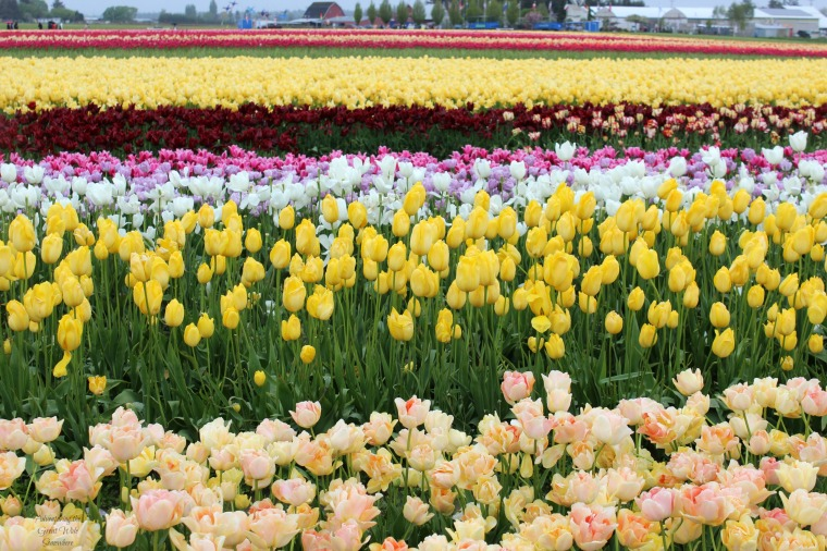 Sunny Yellow Fields at the Skagit Valley Tulip Festival