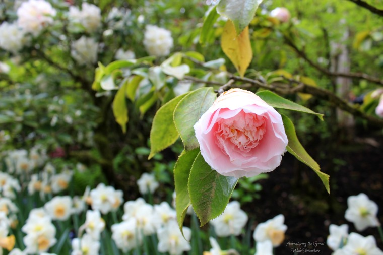 A Single Pink Bloom Stands Out at Butchart Gardens in Canada